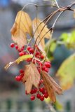 The cranberry branch. A branch of viburnum in autumn Royalty Free Stock Image
