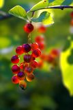 Cranberry bush fruit Stock Photos