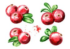 Cranberry compositions set. Fresh berries with leaves. Hand drawn watercolor illustration  isolated on white background. Cranberry compositions set. Fresh Stock Images