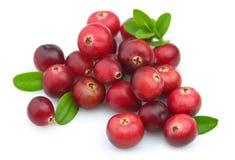 cranberry dojrzały Obrazy Stock