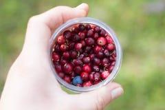 cranberry dziki Fotografia Royalty Free