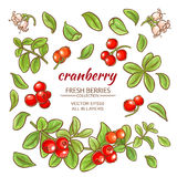 Cranberry elements vector set. On white background Stock Photography