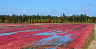 Cranberry farm. Saint-Louis-de-Blandford Quebec Canada 10 06 16: Cranberry farm water management harvesting in Saint-Louis-de-Blandford located on the Becancour Royalty Free Stock Photos