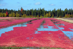 Cranberry farm. Saint-Louis-de-Blandford Quebec Canada 10 06 16: Cranberry farm water management harvesting in Saint-Louis-de-Blandford located on the Becancour Royalty Free Stock Photography