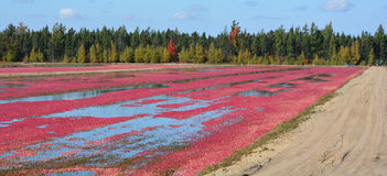 Cranberry farm water management harvesting Royalty Free Stock Image