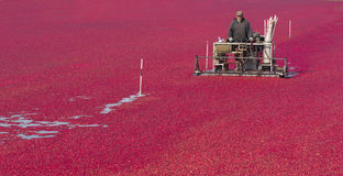 Cranberry Farmer Works Bog During Food Harvest Royalty Free Stock Images