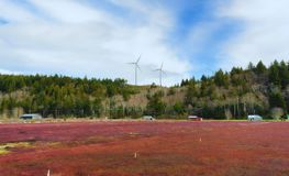 Cranberry Fields in Grayland Washington. Cranberry fields with wind turbines on the background hillside under cloudy skies, in Grayland, Washington royalty free stock images