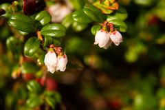 Cranberry Flowers with narrow focus. Macro shot of cranberry flowers in bloom Royalty Free Stock Image