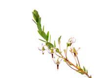 Cranberry flowers (Vaccinium macrocarpon) Royalty Free Stock Image