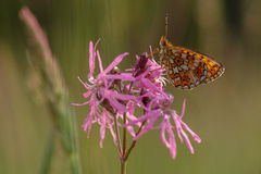 Cranberry Fritillary rPerlmutterfalter Royalty Free Stock Images