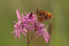 Cranberry Fritillary rPerlmutterfalter Royalty Free Stock Photos