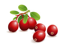 Cranberry Fruit Stock Image
