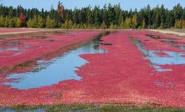 Cranberry gospodarki wodnej rolny zbierać obraz royalty free