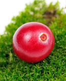 Cranberry on Green Moss Close-Up Royalty Free Stock Image