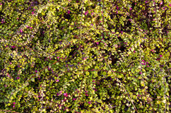 Cranberry grow in forest. Healthy food background. Royalty Free Stock Photography