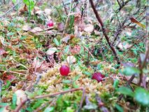 Cranberry growing in wild Siberia royalty free stock photos