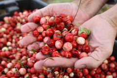 Cranberry in hands Royalty Free Stock Photo