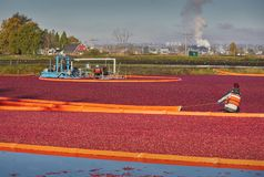 Cranberry Harvest Stock Images