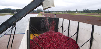Cranberry Harvest Berries Pumped Transport Truck Stock Photo