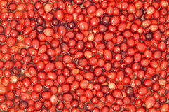 Cranberry harvest floating in water. Background of ripe raw cranberries floating in water stock photography