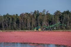Cranberry Harvest royalty free stock image
