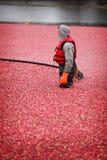 Cranberry Harvesting Stock Photography