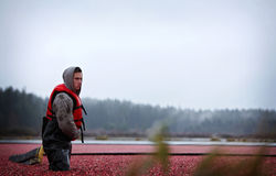Cranberry Harvesting Royalty Free Stock Images