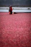 Cranberry Harvesting Stock Photos