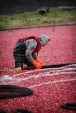 Cranberry Harvesting Stock Photo