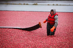 Cranberry Harvesting Royalty Free Stock Photography