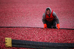 Cranberry Harvesting Royalty Free Stock Image
