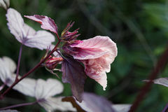 Cranberry Hibiscus Flower Bud Stock Images