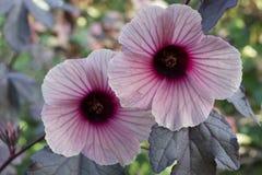 Cranberry Hibiscus Flowers Stock Image