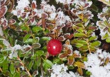 Cranberry i vinter royaltyfri fotografi