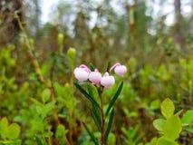 Cranberry kwiatu dorośnięcie w Syberia obraz stock