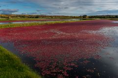 Cranberry Mach In Fall Red Berries Floating in Water stock images