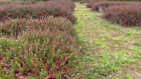 Cranberry mossberry berry plants grow in garden plantation stock footage
