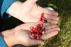Cranberry na palmach Obraz Stock