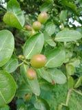 cranberry naturbakgrundstapet, arkivbilder