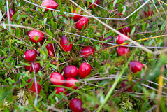 Cranberry in nature Stock Photos