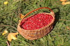 Cranberry Photo : Thanksgiving Day - Stock Photos. Cranberry Photo : Thanksgiving Day Card - Basket with red berries Royalty Free Stock Images