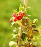 Cranberry plant Stock Images