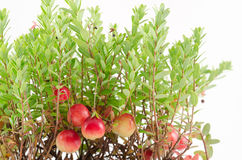 Cranberry plant royalty free stock photo