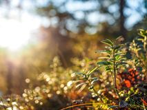 Cranberry plant. Against a background of other vegetation and trees royalty free stock image