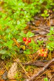 Cranberry plant and berries Stock Photography
