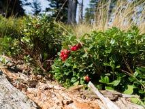 Cranberry plant Stock Photography
