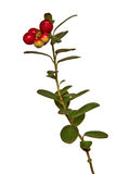 Cranberry plant on a white background Stock Images