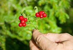 cranberry ręka Zdjęcie Stock