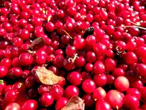 Cranberry - red background Royalty Free Stock Photo