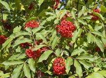 Cranberry Stock Photos